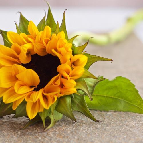 sun-petals-flower-color